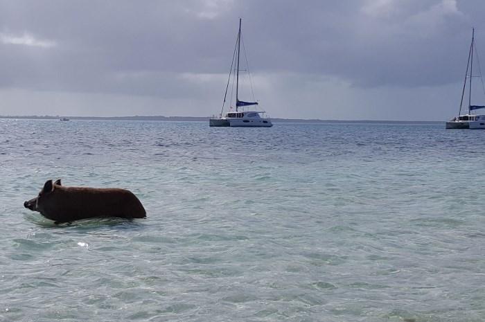 Blog11-Colgate-Offshore-Segeln-Abenteuer-Bahamas-Schwein-in-water_700x465
